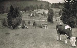 ferme de la tante Alice au environ de 1950 (aujourd'hui' sous les sapins)